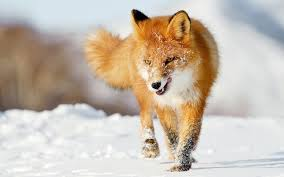 sleeping red fox wallpapers fox pictures wallpapers 60 wallpapers u2013 hd wallpapers