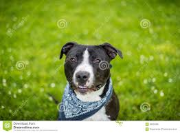 american pitbull terrier blue black and white american pit bull terrier with blue bandanna stock