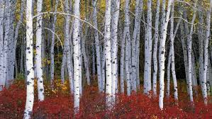 nature wood trees forest leaves birch branch fall