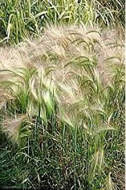 100 bunny tails grass hares ornamental lagurus
