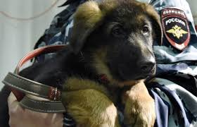 belgian shepherd diesel russia gifts france pup after police raid dog slain the local