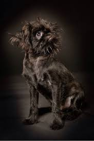 affenpinscher reviews 118 best bg u0027s images on pinterest griffon bruxellois brussels