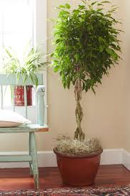 indoor trees that don t need light tips for caring for your ficus tree hgtv