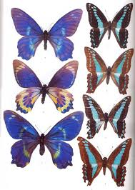 butterflies of the solomon islands systematics and biogeography
