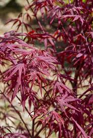 296 best of japanese maples images on acer