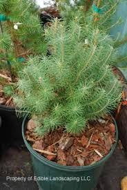 pine italian pine in pot could plant extras to bulk up the