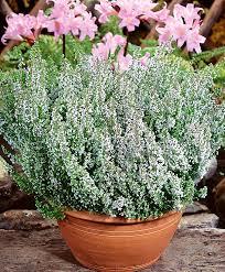 buy ornamental shrubs now common bakker