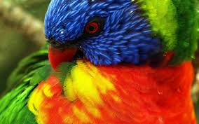 parrots large size up wall 12 animal wallpapers free