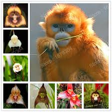 Monkey Orchids Aliexpress Com Buy Chinese Monkey Face Orchids Flower Seeds Rare