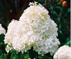 Hydrangea Flowers Hydrangea Flowers In White Photo Jpg