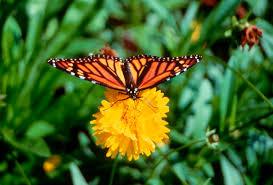 monarch butterfly wwf canada