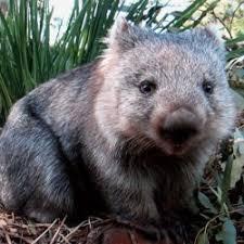 Wombat Memes - aussie icon wombat aussie memes