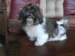 shih tzu with curly hair our doggies
