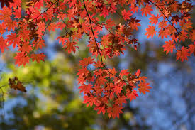 plants native to china 13 species of maple trees