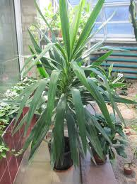 yucca plant care tips the ultimate guide diseases and problems