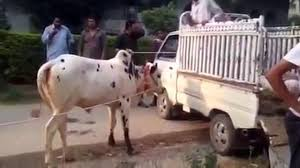 most danger cow bull for qurbani 2016 video dailymotion