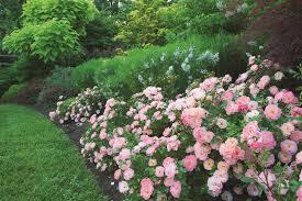 drift roses breedlove nursery and landscape drift roses