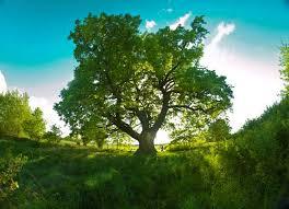 mighty oak in midst of soccer field named best european tree