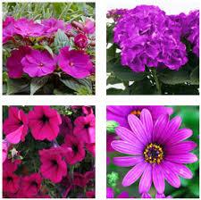 balkon grã npflanzen balkonpflanzen mit lila violetten blüten balkon oasebalkon oase