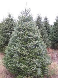 fraser fir mr christmastree