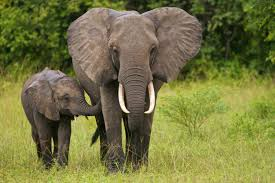 facts about elephants african elephants u0026 asian elephants
