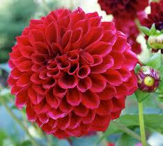 dahlias flowers 2618x2340px dahlia 4299 35 kb 216451