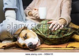 Dog Sofa Blanket Sleepy Dog In Throw Blanket With Human Lazy Puppy Covered In