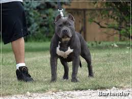 blue pits for sale in michigan