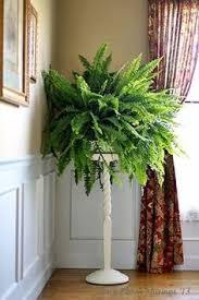 best indoor plants boston ferns fern and plants