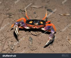 halloween land crab defensive claws open stock photo 33486205