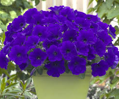 Flowering Patio Plants Trilogy Blue Petunia Gives Gardens Containers And Hanging Baskets