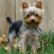 haircuts for yorkies yorkshire terrier energetic and affectionate pup yorkies and