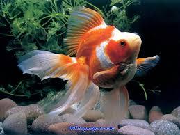 tropical fish wallpaper wallpapersafari