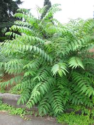 invasive tree of heaven leaves smell like rancid peanuts or well
