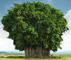 the banyan or banian tree is an epiphyte which means the plant