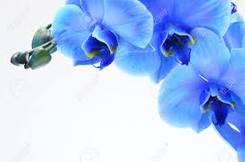 blue orchid flower blue orchid flower on light background stock photo picture and