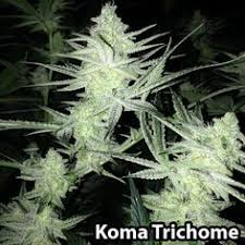 how much light do pot plants need too much light can cause bleaching notice how the tip of this bud