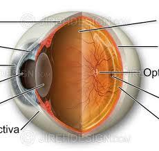 Picture Of Eye Anatomy Eye Anatomy Cross Section An0001 Stock Eye Images