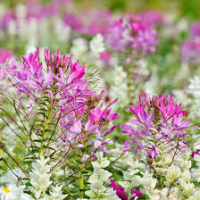 Long Blooming Annual Flowers - cleome hassleriana spider flower