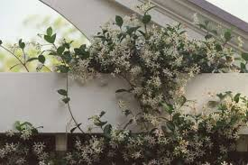 star jasmine on trellis vines for your arbor houston chronicle