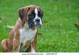 boxer dog 2 months old portrait beautiful fawn boxer female attentive stock photo