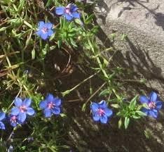 anagallis monellii blue 56 is blue flowers