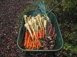 Freezing Root Vegetables - root crops report susan u0027s in the garden