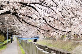 the sakura blossom and its cultural significance in japan hub japan
