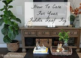 Fiddle Leaf Fig Tree Care by How To Care For Your Fiddle Leaf Fig