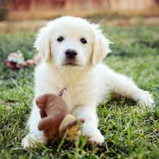 Comfort Retriever Puppies For Sale English Golden Retriever Breeders Southern California The Bearden Pack