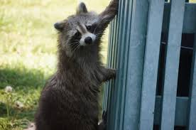 How Do I Get Rid Of Rabbits In My Backyard Raccoons How To Identify And Get Rid Of Raccoons In The Garden