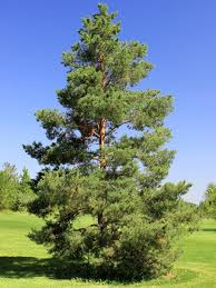 scotch pine for sale treetime ca
