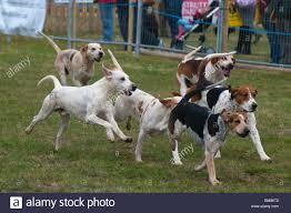 afghan hound saddle running hounds stock photos u0026 running hounds stock images alamy
