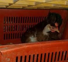 animali da cortile in centro abitato blitz nell allevamento casalingo liberati in 115 attualit罌
